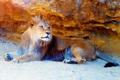 Härligt lejon som vilar i solskenet bakgrund föder upp den steniga stenstrukturen för rocken Arkivbild