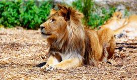 Härligt lejon som vilar i solskenet effekt för 50mm bakgrundsblur aktiverar sidan för nattnikkordeltagaren Royaltyfri Foto