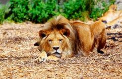 Härligt lejon som vilar i solskenet effekt för 50mm bakgrundsblur aktiverar sidan för nattnikkordeltagaren Arkivbild