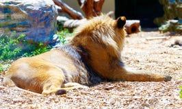 Härligt lejon som vilar i solskenet effekt för 50mm bakgrundsblur aktiverar sidan för nattnikkordeltagaren Arkivfoto