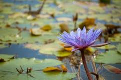 Härligt lilablomningvatten lilly Fotografering för Bildbyråer