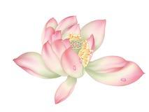 härligt liljavatten royaltyfri illustrationer