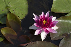 härligt liljavatten Royaltyfri Bild