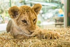 härligt lionbarn Royaltyfri Bild