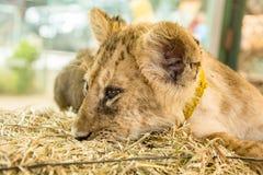 härligt lionbarn Arkivbild