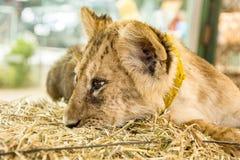 härligt lionbarn Arkivfoto