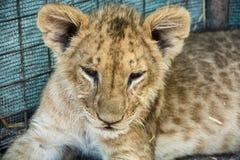 härligt lionbarn Arkivfoton