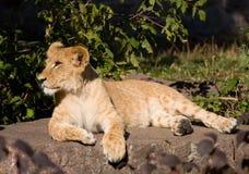 härligt lionbarn Fotografering för Bildbyråer