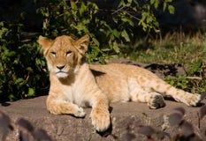 härligt lionbarn Royaltyfria Bilder