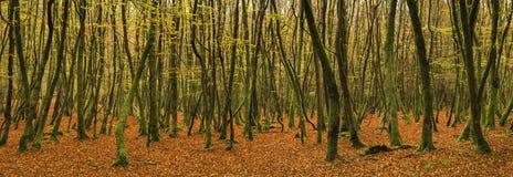 Härligt livligt guld- landskap för Autumn Fall skogpanorama arkivbild