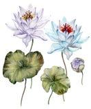 Härligt ljus - blått- och lilalotusblommablommor Blom- uppsättningblomma på stammen, knoppen och sidor bakgrund isolerad white Arkivfoton