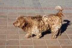 Härligt ljus - brun hundkapplöpning med dreadlocks Royaltyfri Bild