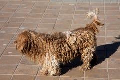 Härligt ljus - brun hundkapplöpning med dreadlocks Arkivbilder