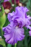 Härligt ljus - purpurfärgad iris Royaltyfri Foto