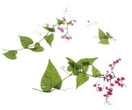 Härligt ljus - purpurfärgad tusensköna - som blomstrar Osteospermum - blomma Royaltyfria Bilder