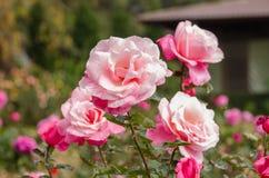 Härligt ljus - rosa färgros i en trädgård Royaltyfri Fotografi