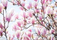 Härligt ljus - rosa magnoliablommor royaltyfria foton