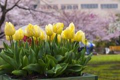 härligt ljus - vit för pastellfärgad färg för tulpan blomma för guling och Royaltyfri Fotografi