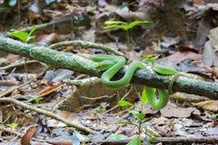 Härligt ljust - för Pit Viper för grön färg Vit-lipped wrappe orm royaltyfri foto
