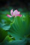 Härligt lotusblommadamm i sommar i Kina blomma lotusblomma Arkivbilder