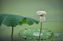 Härligt lotusblommadamm i sommar i Kina blomma lotusblomma Arkivfoton