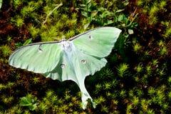 Härligt Luna Moth sammanträde i mossa Arkivfoto