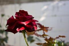 Härligt mörker - röd ros Arkivbild