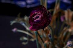 Härligt mörker - röd ros Royaltyfria Foton