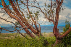 Härligt Madrone träd med bakgrund för blå himmel royaltyfri foto