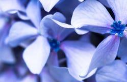 Härligt makroslut upp av gruppen av blåa violetta kronblad av hortensiablomman på grön suddig bakgrundstexturmodell arkivfoton