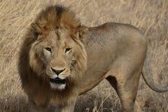 Härligt manligt lejon i den Ngorongoro krater av Tanzania arkivfoto