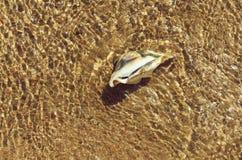 Härligt marin- skal i havsvatten royaltyfri bild