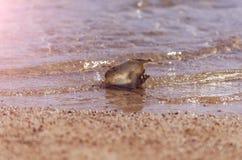 Härligt marin- skal i sorl för havsvatten på sandstranden arkivfoto