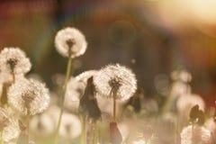 Härligt maskrosfält - maskrosfrö arkivfoto