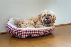 Härligt mjölka den havanese hunden för choklad Royaltyfri Bild