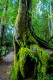 Härligt mossigt träd med ett hål i det royaltyfri foto