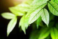 Härligt naturligt av det gröna bladet med dagg- och vattendroppar efter arkivfoton
