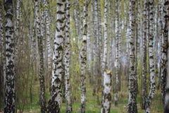 Härligt naturligt panorama- landskap - sommarbjörkdungen i aftonen spridde ut solljus Arkivbild