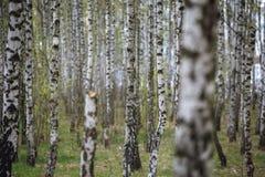 Härligt naturligt panorama- landskap - sommarbjörkdungen i aftonen spridde ut solljus Royaltyfri Foto
