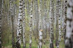 Härligt naturligt panorama- landskap - sommarbjörkdungen i aftonen spridde ut solljus Fotografering för Bildbyråer