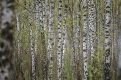 Härligt naturligt panorama- landskap - sommarbjörkdungen i aftonen spridde ut solljus Arkivbilder