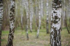 Härligt naturligt panorama- landskap - sommarbjörkdungen i aftonen spridde ut solljus Arkivfoto