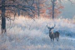 Härligt nedgånglandskapfotografi med whitetailbocken Fotografering för Bildbyråer