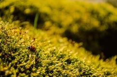Härligt nyckelpigasammanträde på ny grön mossa Arkivfoto