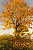 Härligt och ljust, lönnträd med apelsinsidor i höst arkivfoton