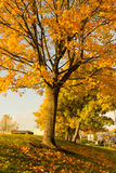 Härligt och ljust, lönnträd med apelsinsidor i höst Royaltyfria Bilder