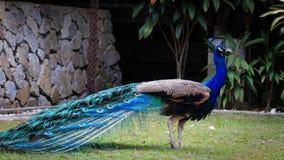 Härligt och Shinning påfågelanseende i trädgården Arkivbilder