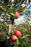 Härligt optimistiskt landskap med äpplen i äppleträdgården royaltyfria foton