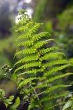 Härligt ormbunkeblad i skogen Royaltyfri Bild