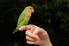 härligt papegojahusdjur Fotografering för Bildbyråer